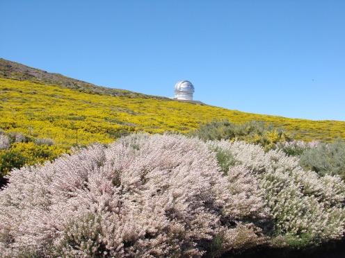 Floración en el Roque de Los Muchachos