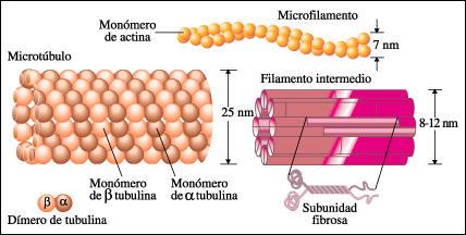 Microtúbulos
